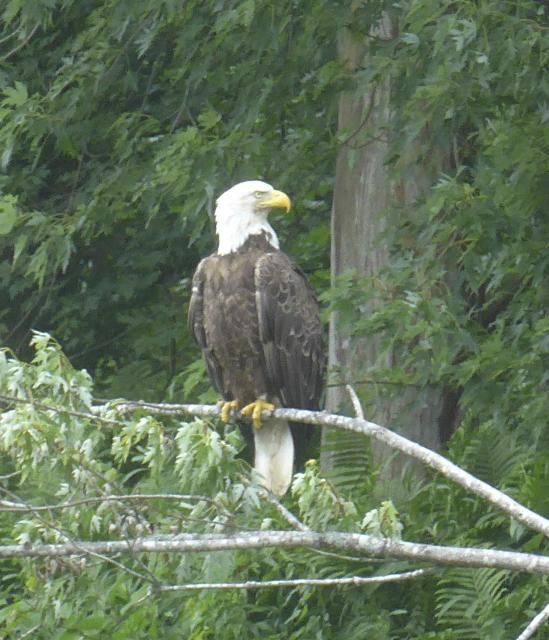 Banded Eagle near North Star Kayak take out